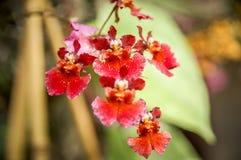 Fiore Colourful del Cymbidium immagine stock