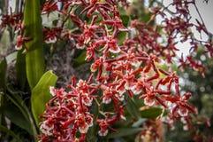 Fiore Colourful del Cymbidium fotografia stock