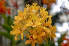 Fiore Colourful del Cymbidium fotografia stock libera da diritti