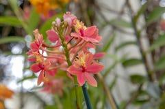 Fiore Colourful del Cymbidium fotografie stock