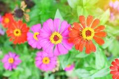Fiore Colourful di zinnia Fotografia Stock Libera da Diritti