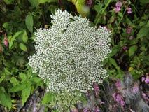 Fiore composito bianco raro alla valle dei fiori Immagini Stock