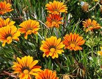 Fiore composito giallo ed arancio in Tavira Portogallo fotografia stock