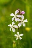 Fiore comune della saponella Fotografia Stock
