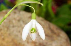 Fiore comune di bucaneve di bianco Immagini Stock Libere da Diritti