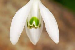 Fiore comune di bucaneve di bianco Fotografia Stock Libera da Diritti