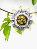 Fiore comune isolato di passione (caerulea della passiflora) Fotografia Stock
