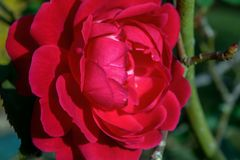 Fiore comune rosso della camelia in un giardino immagini stock