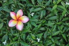 Fiore con il foglio verde Immagini Stock Libere da Diritti