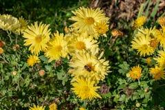 Fiore con l'ape nel giardino di estate fotografie stock