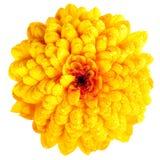 Fiore con le gocce di acqua, crisantemo fotografie stock