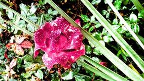 Fiore con le gocce di rugiada Fotografia Stock