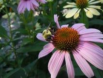 Fiore con una luce solare dell'ape immagini stock