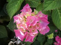 Fiore concentrato dell'ortensia - rosa fotografie stock libere da diritti