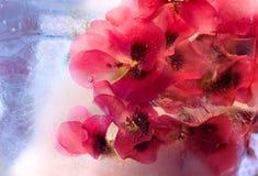Fiore congelato del pelargonium Fotografia Stock