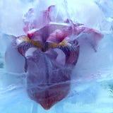 Fiore congelato dell'iride Immagini Stock Libere da Diritti