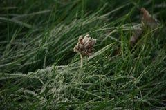 Fiore congelato in erba verde coperta di brina fotografia stock