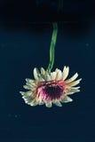 Fiore contro fondo scuro nell'acqua Fotografie Stock Libere da Diritti
