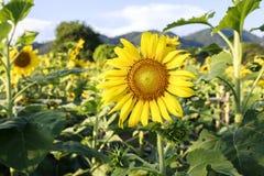 Fiore contro un cielo blu, Tailandia di Sun Immagini Stock Libere da Diritti