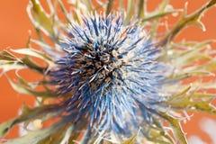 Fiore coperto di spine Fotografia Stock