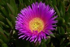 Fiore costiero Fotografia Stock