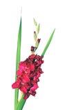 Fiore cremisi di gladiolo isolato Fotografie Stock Libere da Diritti