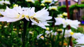 Fiore, crisantemo, bianco, bello, natura, flora naturale fotografia stock libera da diritti