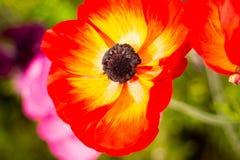 Fiore d'ardore che affronta il sole Immagini Stock Libere da Diritti