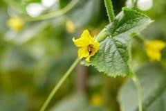 Fiore d'impollinazione della pianta del cetriolo dell'ape al giardino Fotografia Stock Libera da Diritti