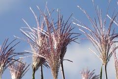 Fiore dal campo di mais Fotografie Stock