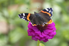 Fiore dal giardino con una farfalla Fotografie Stock