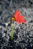 Fiore dalle ceneri immagine stock