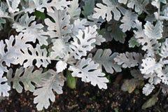 Fiore decorativo con le foglie lanuginose, vista vicina Fotografia Stock Libera da Diritti