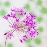 Fiore decorativo dell'allium su fondo astratto Fotografie Stock Libere da Diritti
