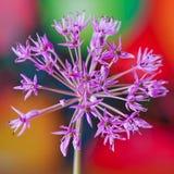 Fiore decorativo dell'allium su fondo luminoso astratto Fotografia Stock Libera da Diritti
