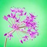 Fiore decorativo dell'allium su fondo luminoso astratto Immagini Stock Libere da Diritti