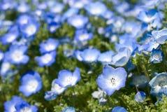 Fiore degli occhi azzurri del bambino Fotografie Stock Libere da Diritti