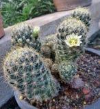 Fiore dei cactus appuntiti in cupola geodetica nel parco del Ram IX di Suan Luang Phra Fotografia Stock