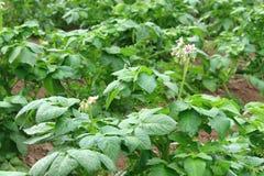 Fiore dei fiori del potatoe nel campo Fotografie Stock Libere da Diritti