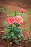 Fiore dei fiori nell'inverno Fotografia Stock Libera da Diritti