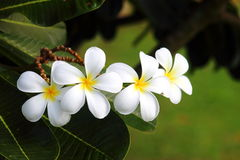 Fiore dei frangipani Fotografia Stock