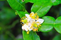 Fiore dei frutti del bergamotto sull'albero fotografia stock