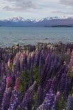 Fiore dei lupini nel lago Tekapo, Nuova Zelanda Fotografie Stock Libere da Diritti