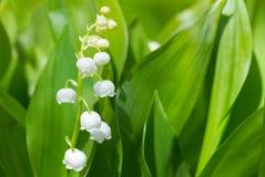 Fiore dei mughetti nella primavera Fotografia Stock Libera da Diritti
