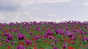 Fiore dei papaveri rossi e porpora contro il cielo nuvoloso blu video d archivio