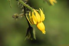 fiore dei pomodori Fotografie Stock Libere da Diritti