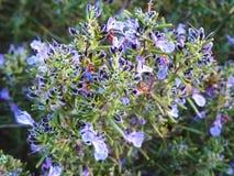 Fiore dei rosmarini nello splendore completo fotografie stock libere da diritti