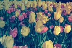 Fiore dei tulipani Fotografia Stock Libera da Diritti