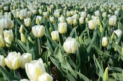 Fiore dei tulipani in mezzo al campo dei tulipani (backgro naturale Fotografia Stock