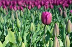 Fiore dei tulipani in mezzo al campo dei tulipani (solitudine, fea Immagine Stock